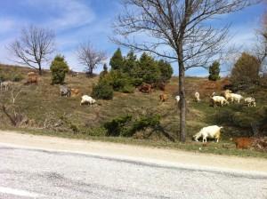 Troupeau de chèvres juste à côté de la route