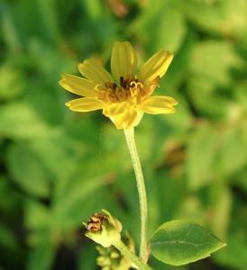 Fleur jaune de l'île des Maldives Mirihi Island