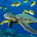 tortue guadeloupe plongee sous marine